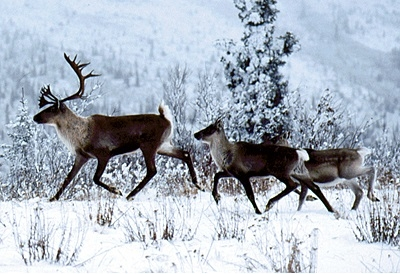 Today caribou remain one of the most abundant large mammals in the North.