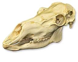 Crâne de caribou