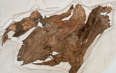 Mummified Yukon horse hide on display at YBIC. Discovered at Last Chance Creek by Olynyk and Toews.
