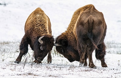 Unlike many ice age animals, bison are still with us today. Photo: Shutterstock