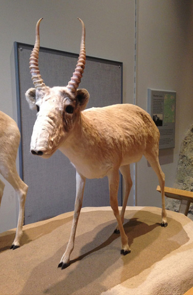 Saiga Antelope on display at YBIC.