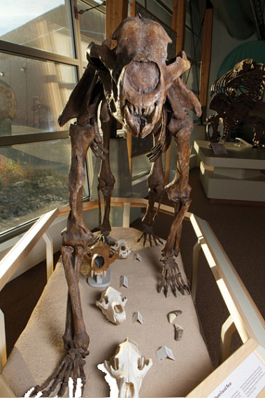 Front-view of the short-faced bear skeleton on display at YBIC.